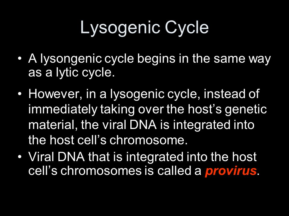 Lysogenic Cycle A lysongenic cycle begins in the same way as a lytic cycle.