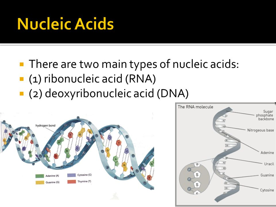 Nucleic Acids There are two main types of nucleic acids: