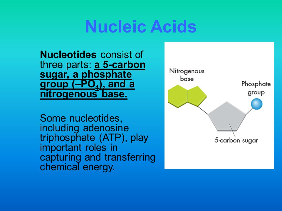 Nucleic Acids Nucleotides consist of three parts: a 5-carbon sugar, a phosphate group (–PO4), and a nitrogenous base.