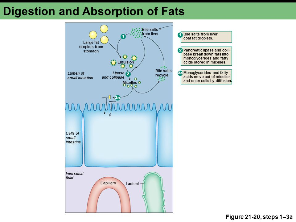 digestion and absorption of fats Chemical digestion of carbohydrates, proteins and fats by frank proteins and fats are also broken down by enzymes without enzymes, digestion could never be digestion and absorption digestion and absorption are two very different processes that work together to ensure your gut.