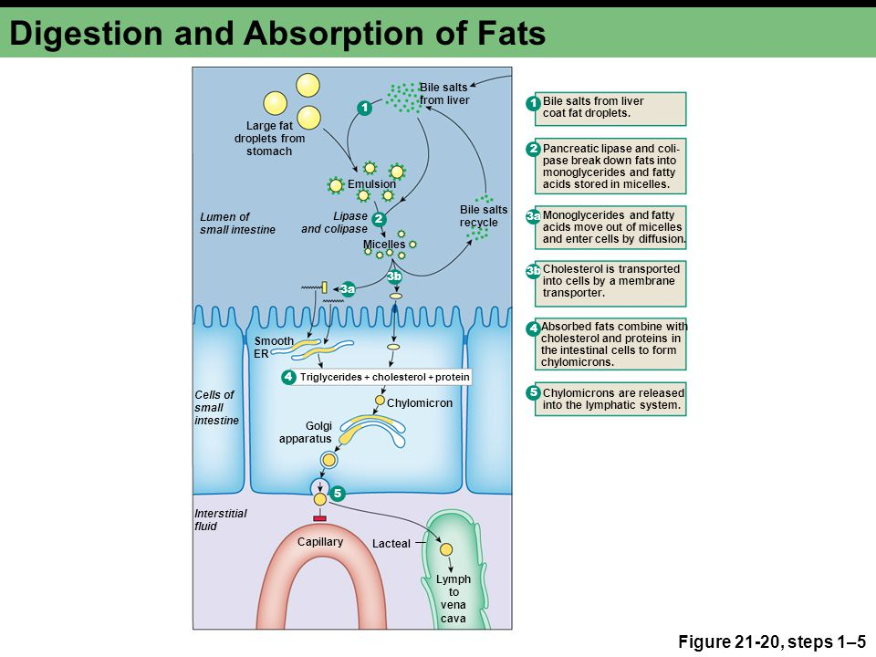 digestion absorption Digestion and absorption of lipids with clinical disorders.