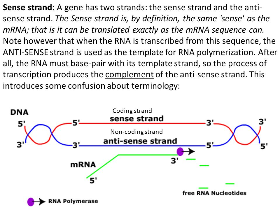 Molecular biology terms ppt video online download for What is a template strand