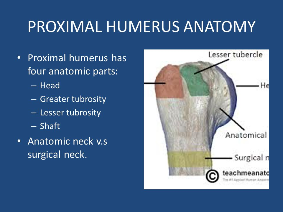 OBJECTIVES CLAVICAL FRACTURE HUMERUS (PROXIMAL & SHAFT ... Proximal Humerus Anatomy