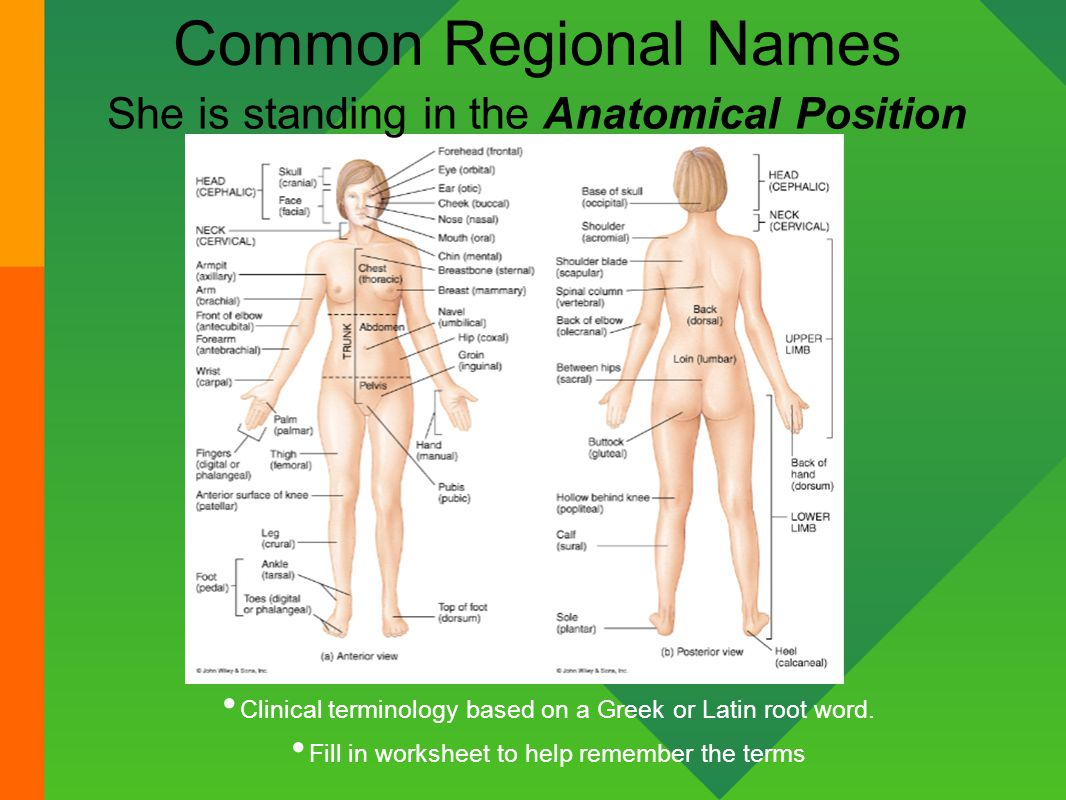 Introduction to Anatomy Physiology ppt video online download – Anatomical Position Worksheet