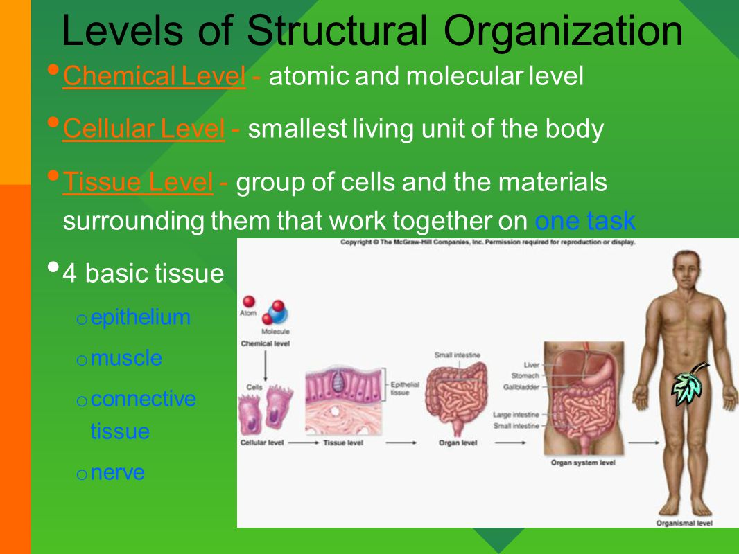 Ziemlich Levels Of Structural Organization Anatomy And Physiology ...