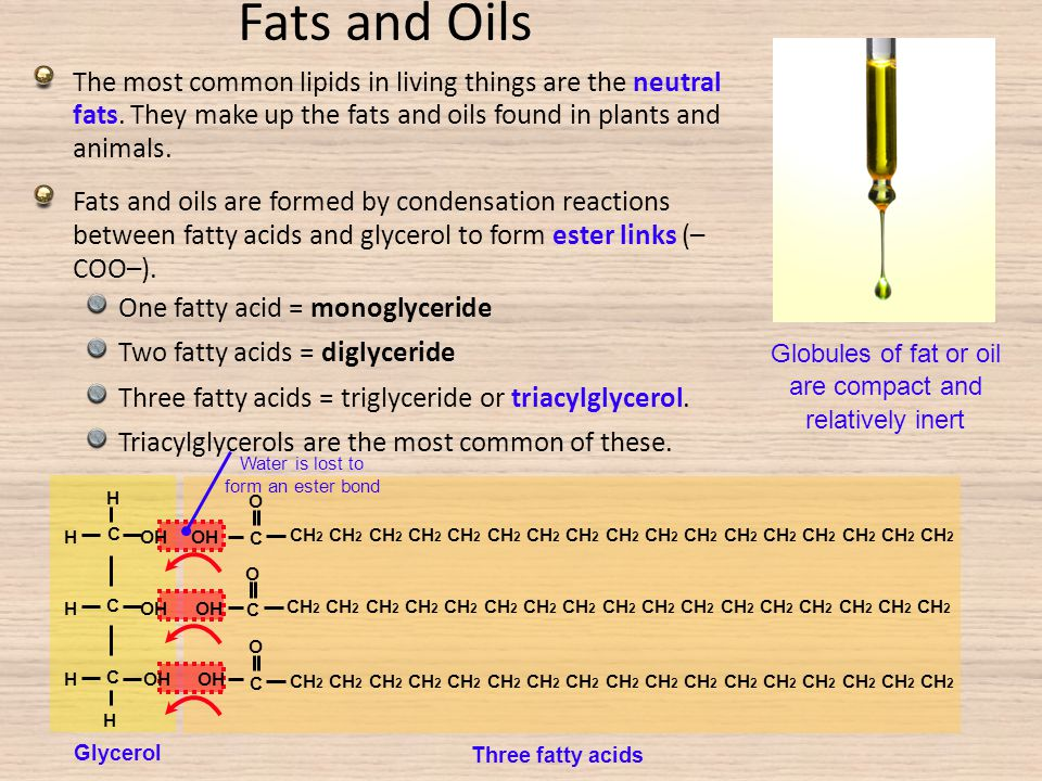 Fats and Oils The most common lipids in living things are the neutral fats. They make up the fats and oils found in plants and animals.