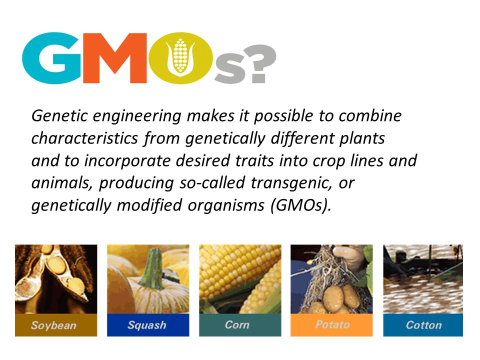 Genetic engineering makes it possible to combine characteristics from genetically different plants and to incorporate desired traits into crop lines and animals, producing so-called transgenic, or genetically modified organisms (GMOs).