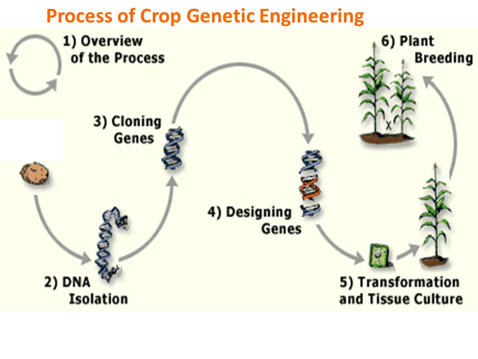 Process of Crop Genetic Engineering