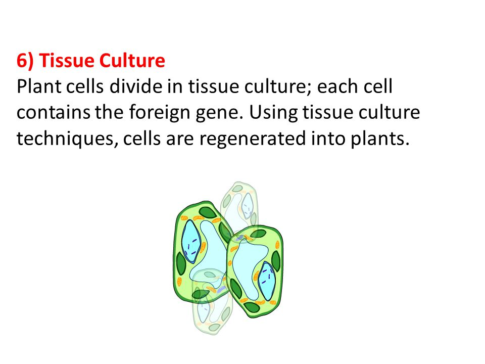6) Tissue Culture Plant cells divide in tissue culture; each cell contains the foreign gene.