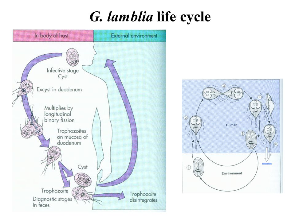 life cycle of the g lamblia Giardia lamblia (also known as g duodenalis or g intestinalis), a flagellated protozoan, is the most common causative agent of persistent diarrhea worldwidethe life cycle includes motile, flagellated trophozoites parasitizing the upper intestine and thick-walled cysts forming in the lower intestine, which are subsequently shed with the feces ().