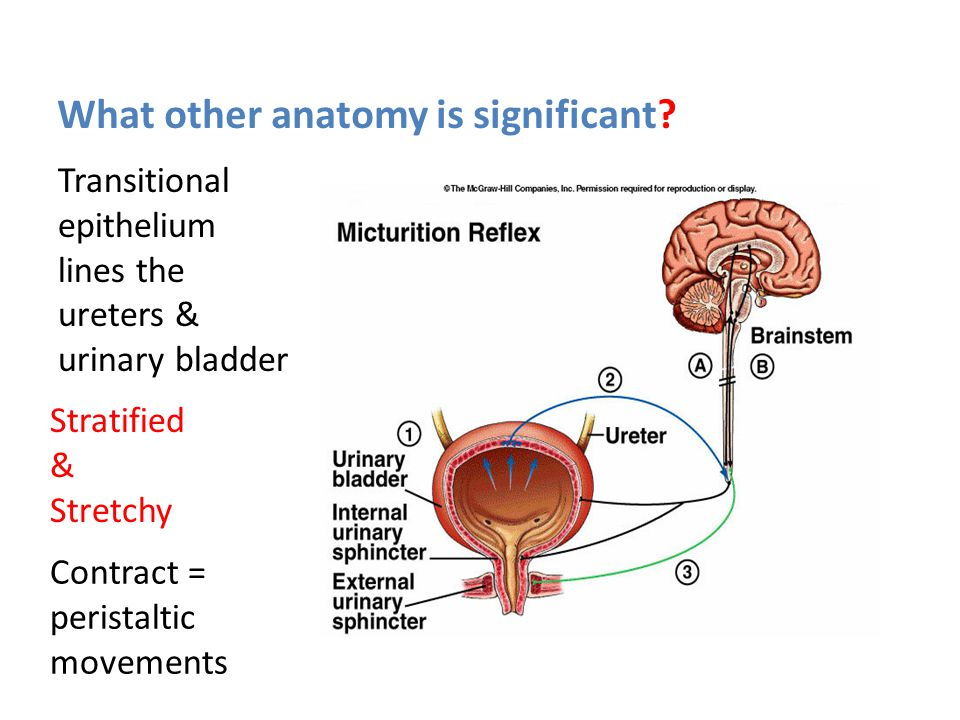Urinary System What are the functions of the urinary ...