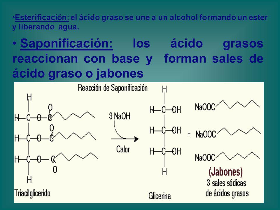 Esterificación: el ácido graso se une a un alcohol formando un ester y liberando agua.