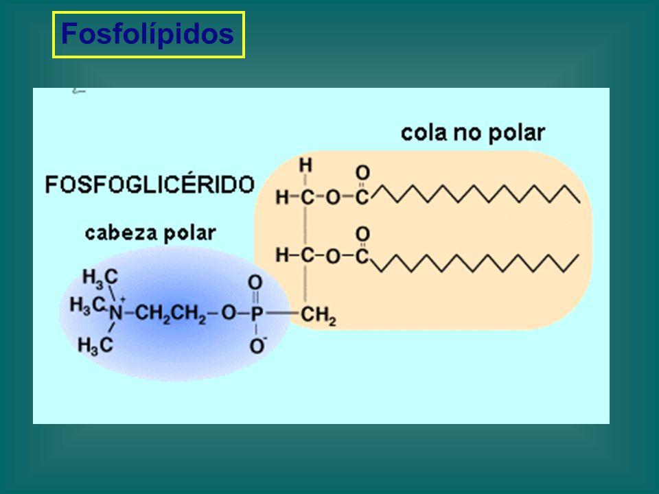 Fosfolípidos