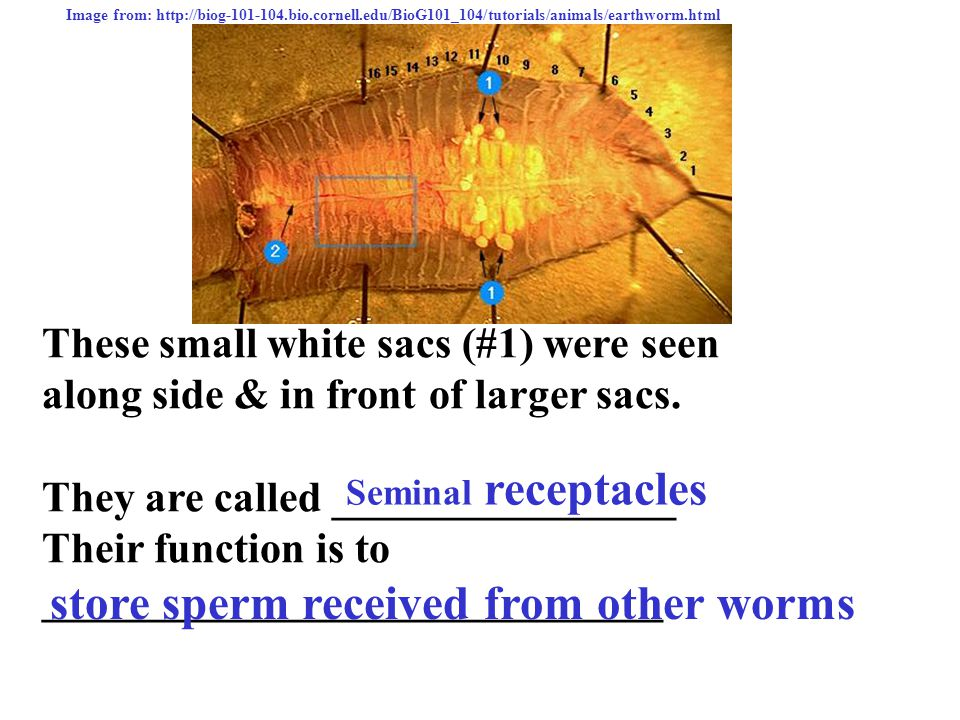 Earthworm Dissection Review - ppt download