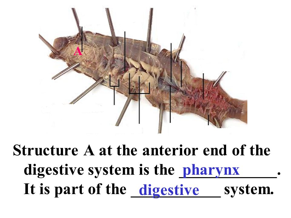 A Structure A at the anterior end of the digestive system is the ____________. It is part of the ___________ system.