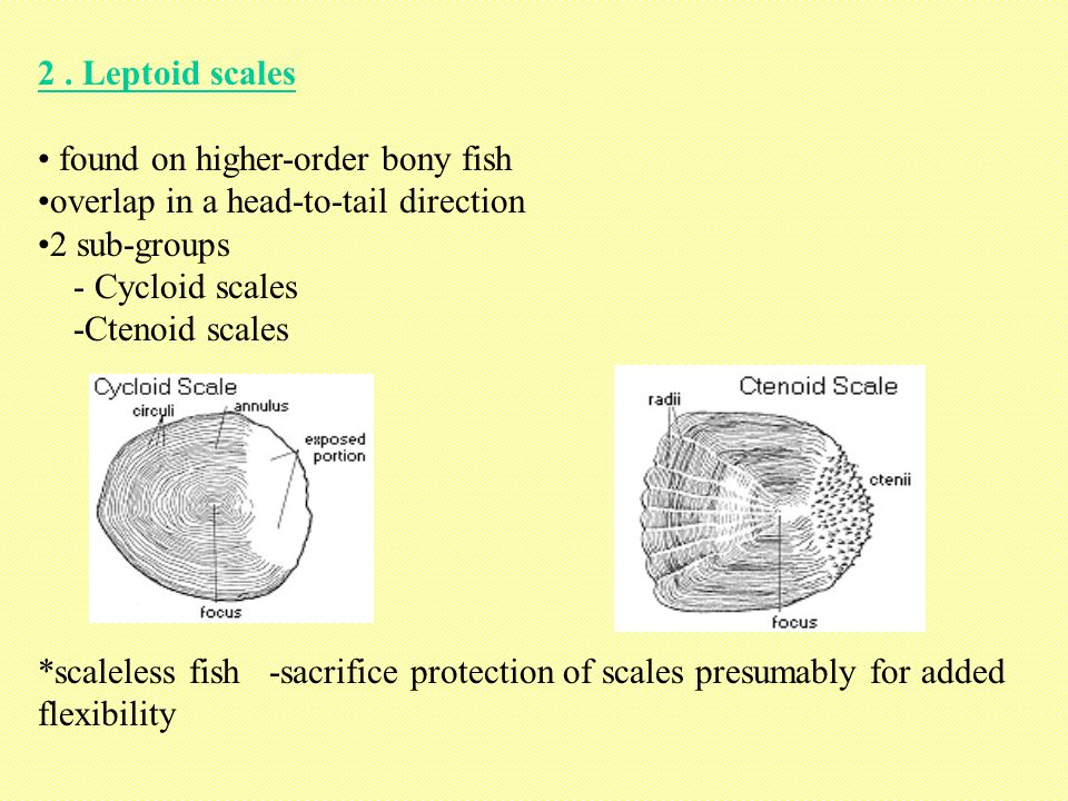 2 . Leptoid scales found on higher-order bony fish. overlap in a head-to-tail direction. 2 sub-groups.