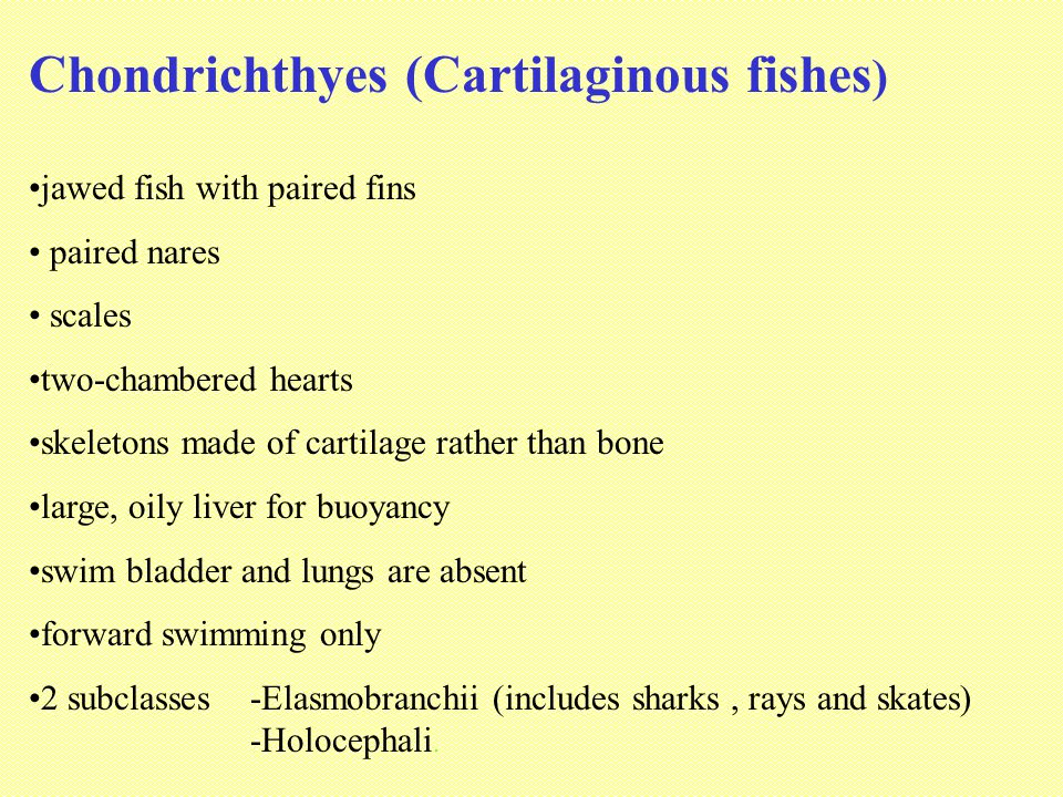Chondrichthyes (Cartilaginous fishes)