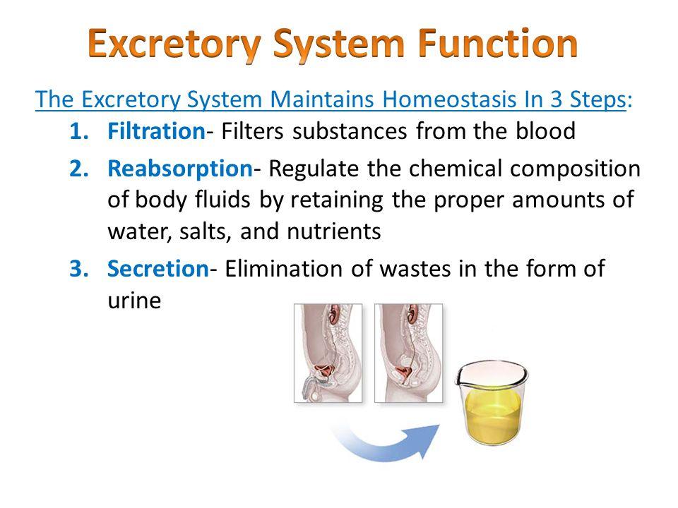 regulation nervous & excretory systems - ppt video online download, Cephalic Vein