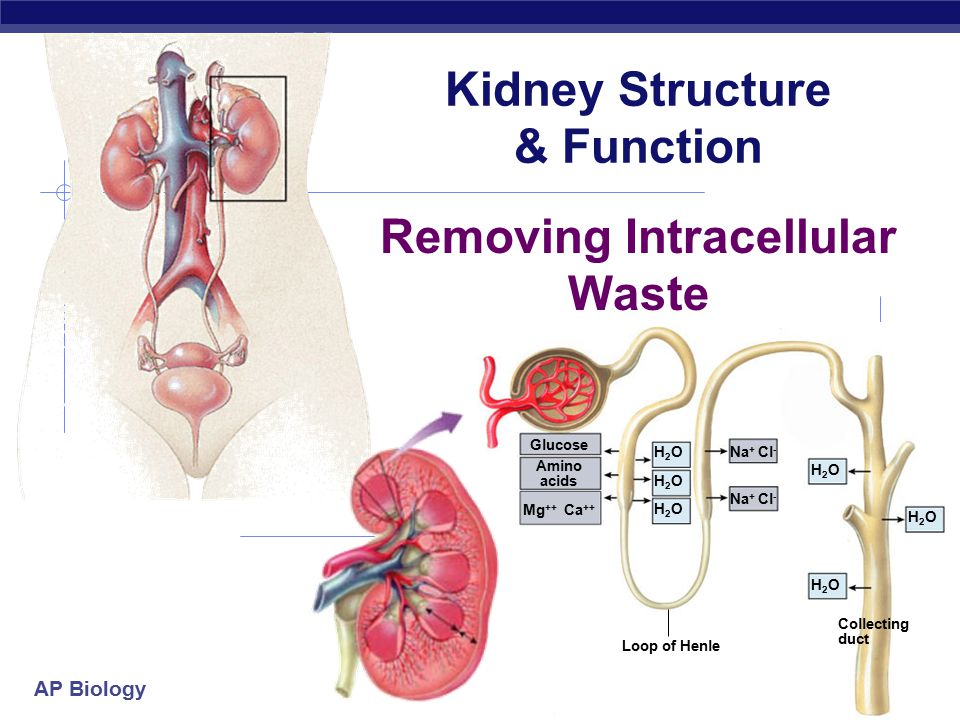 Kidney Structure & Function