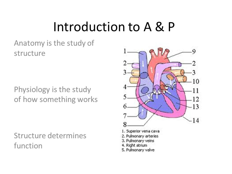 Introduction To A P Anatomy Is The Study Of Structure Ppt Video