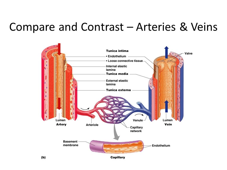 Compare and Contrast – Arteries & Veins
