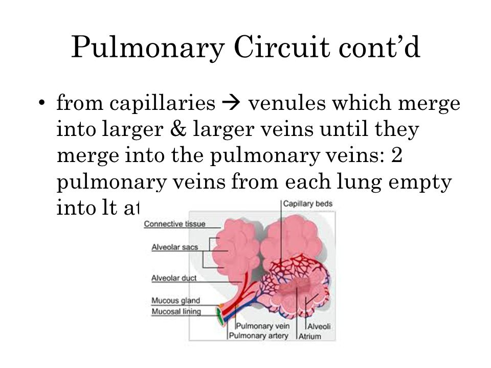 Pulmonary Circuit cont'd