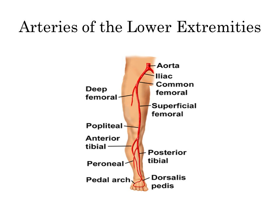 Arteries of the Lower Extremities