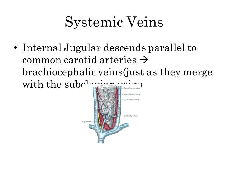 Systemic Veins Internal Jugular descends parallel to common carotid arteries  brachiocephalic veins(just as they merge with the subclavian veins.