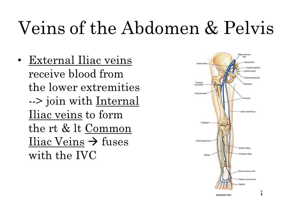 Veins of the Abdomen & Pelvis