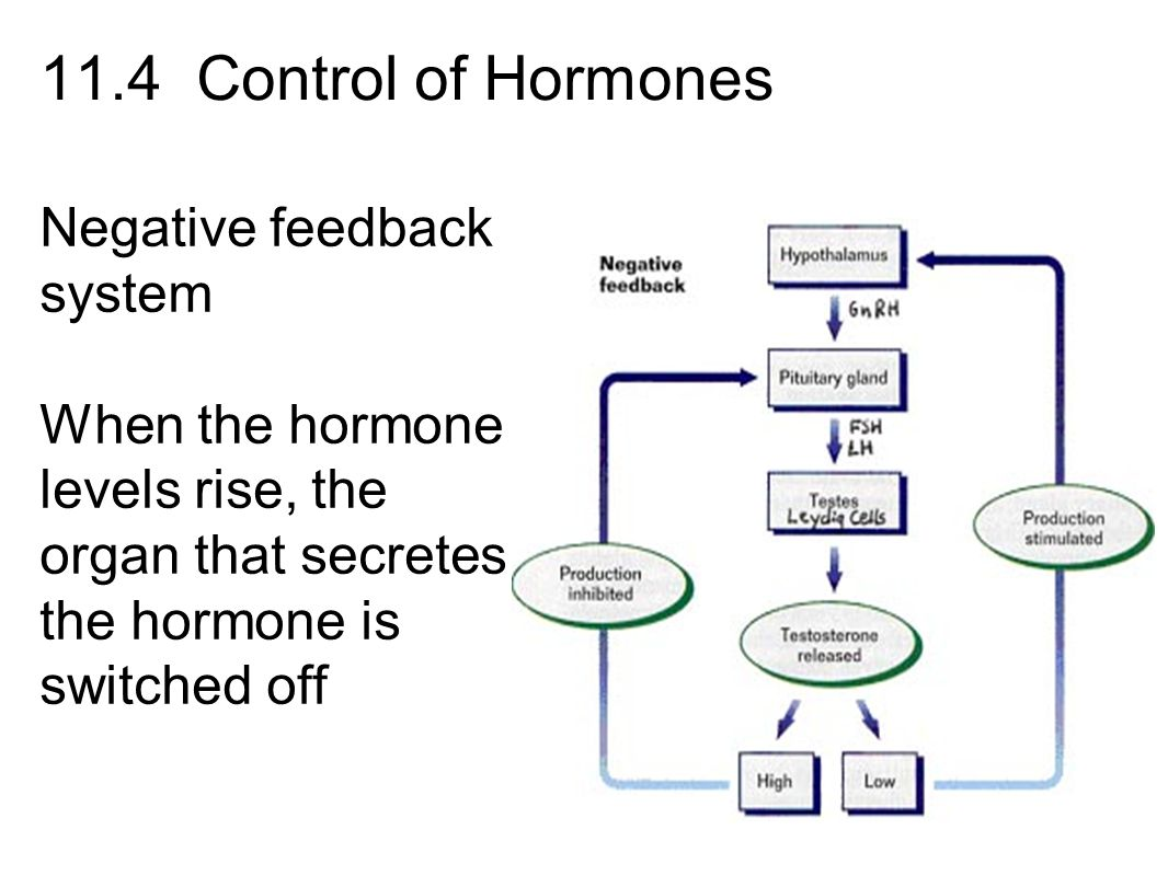 In The Endocrine System Negative Feedback System Wiring