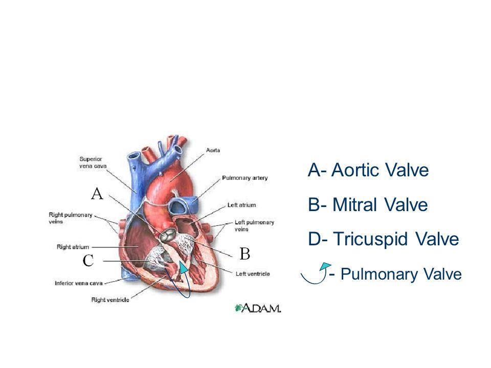 Pulmonary Valve Anatomy