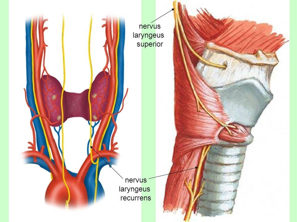 cranial nerves 2nd part david kachl u00edk