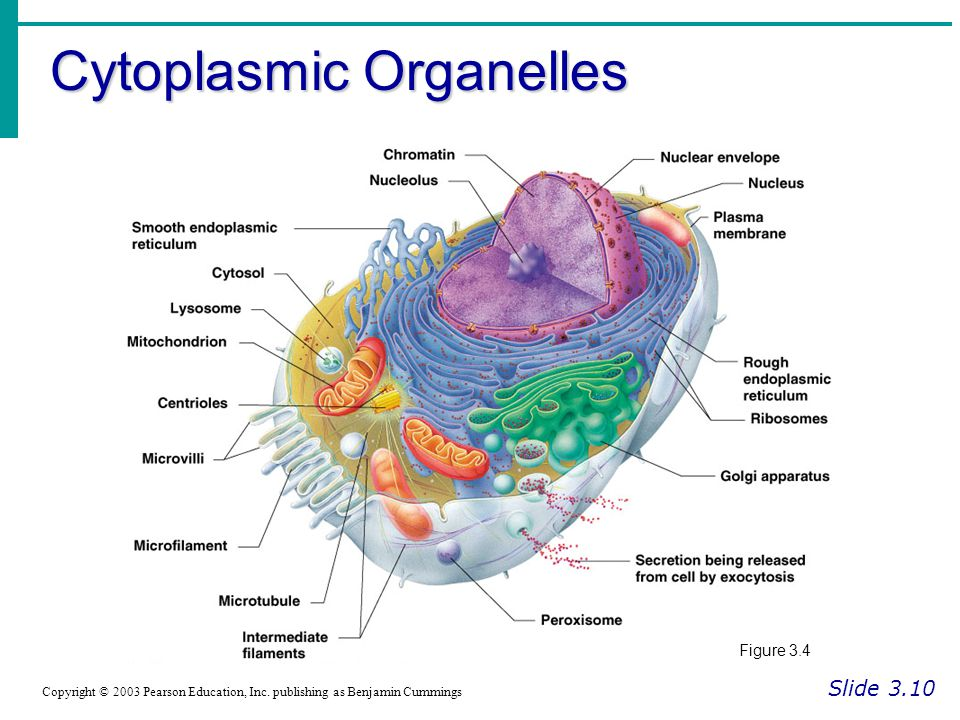 Chapter 3 Cells and Tissues - ppt video online download