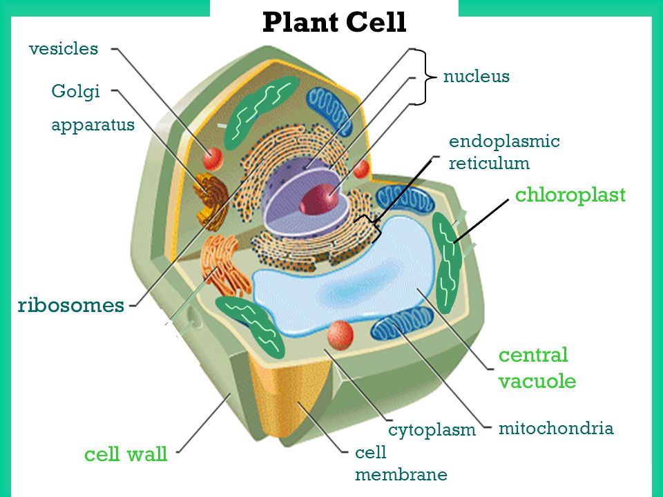 Section 1.2: Microscopes allow us to see inside the cell ...