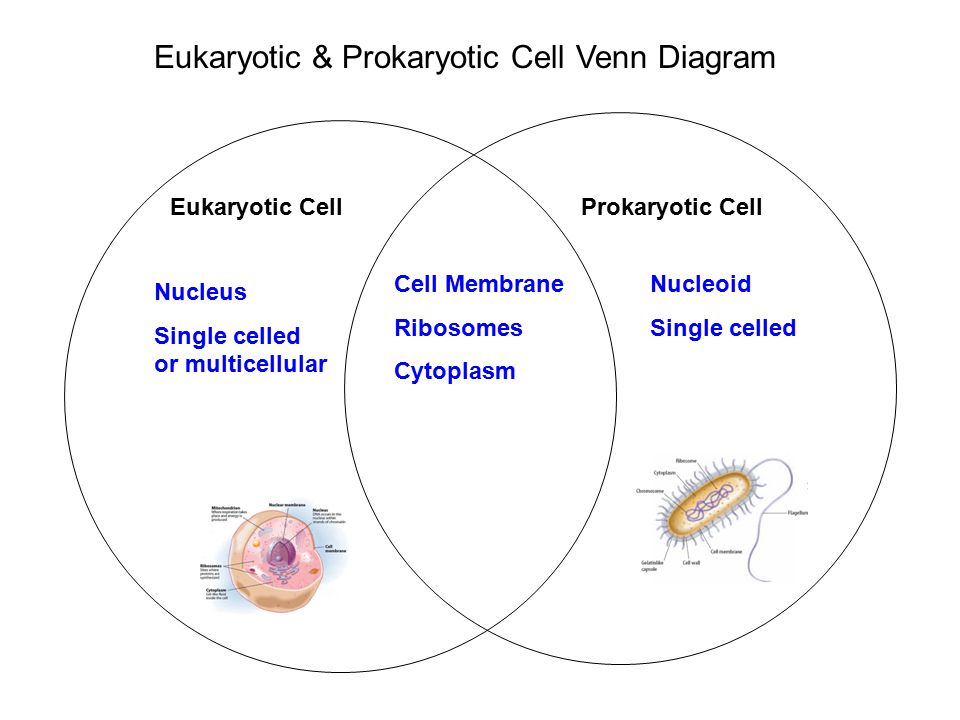 cells eukaryotic vs prokariotic The main difference between the two types is the nucleus which is present in the eukaryotic cells and is absent in the prokaryotic cells the size of a prokaryotic cell is around 1-10 um while the scale of the eukaryotic cell is larger than the first one and is around 10-100 um.