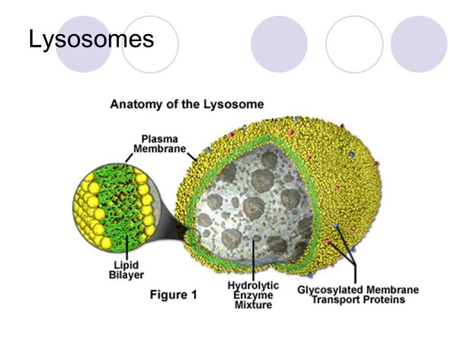 Cell Structure Organelles Ppt Video Online Download
