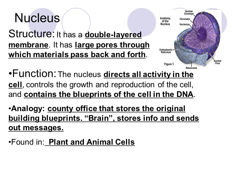 Structure and Function of the Cell Nucleus