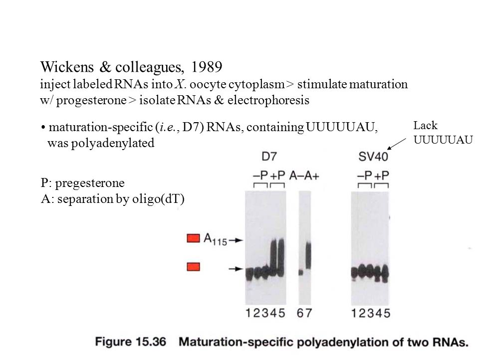 Stability of mRNA Structure features of eukaryotic mRNA ...