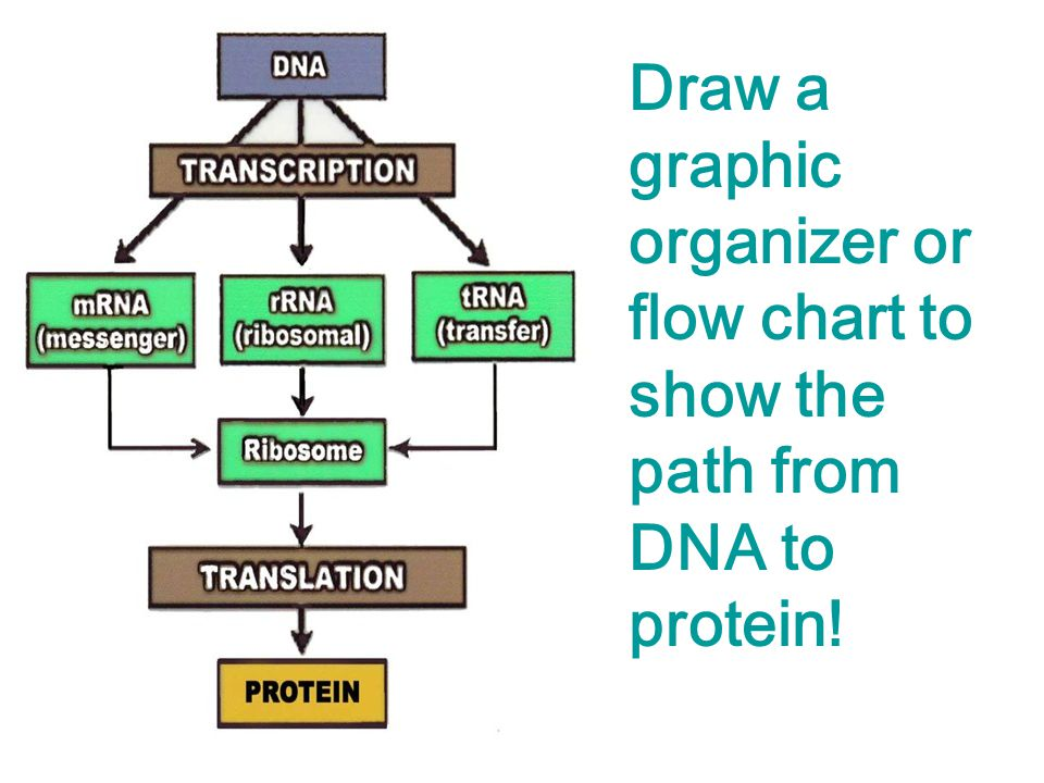Flowchart Of Protein Synthesis on Transcription And Translation Worksheet Answers