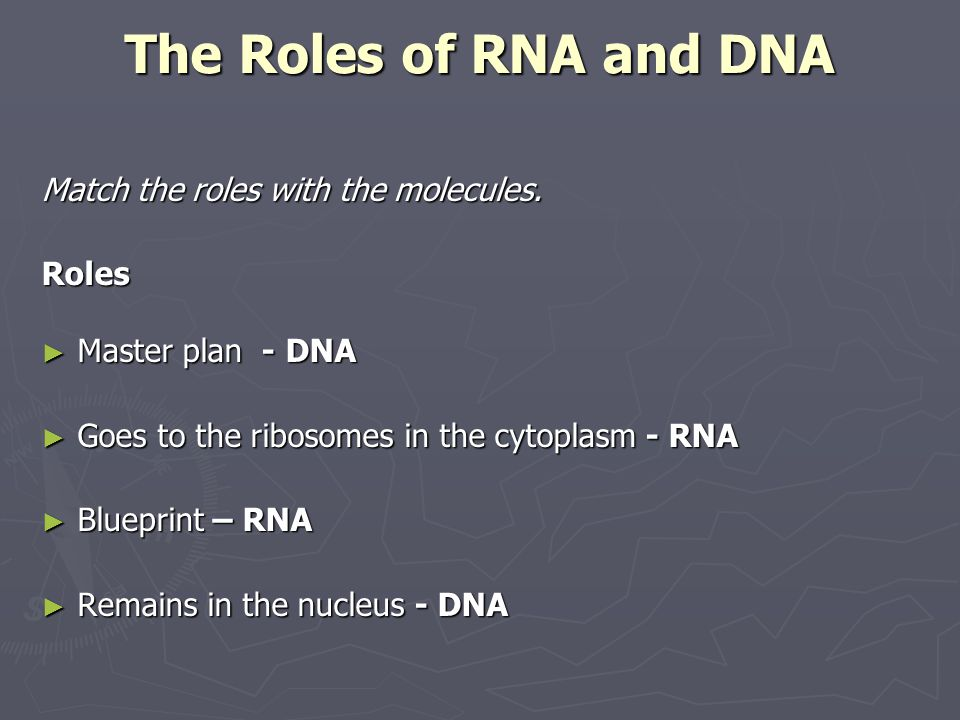 The Roles of RNA and DNA Match the roles with the molecules. Roles