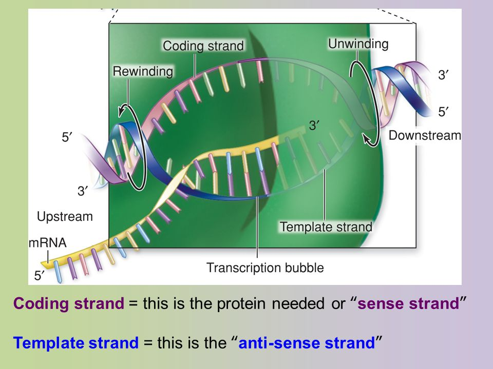 From gene to protein chapter 17 campbell ppt video for What is a template strand