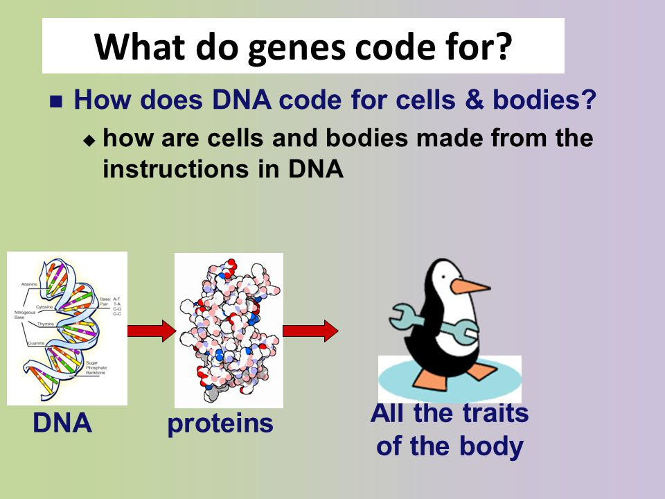 how genes in dna work in the body The truth about genetics and weight loss genetic factors get blamed for a lot of body researchers have identified specific combinations of genes that.