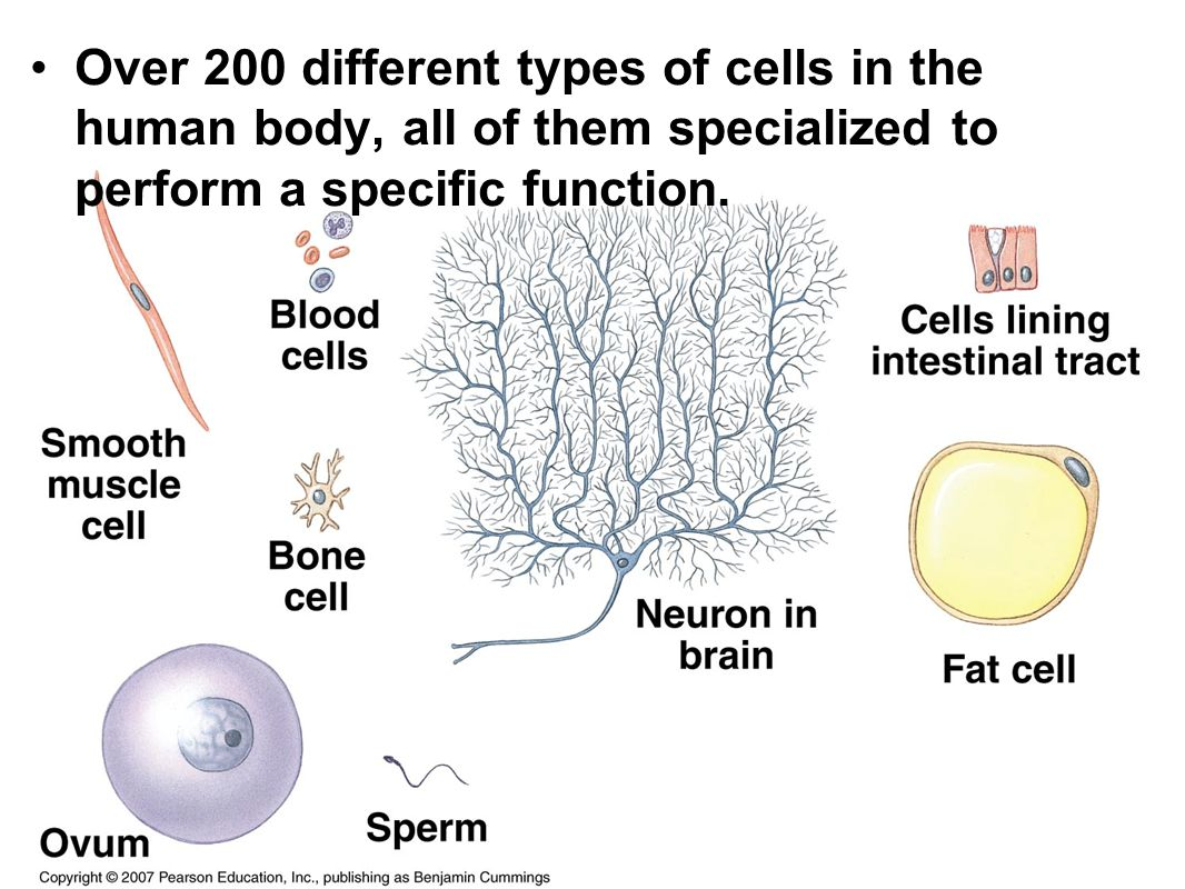 Cell: Essay on Cells in Human Body