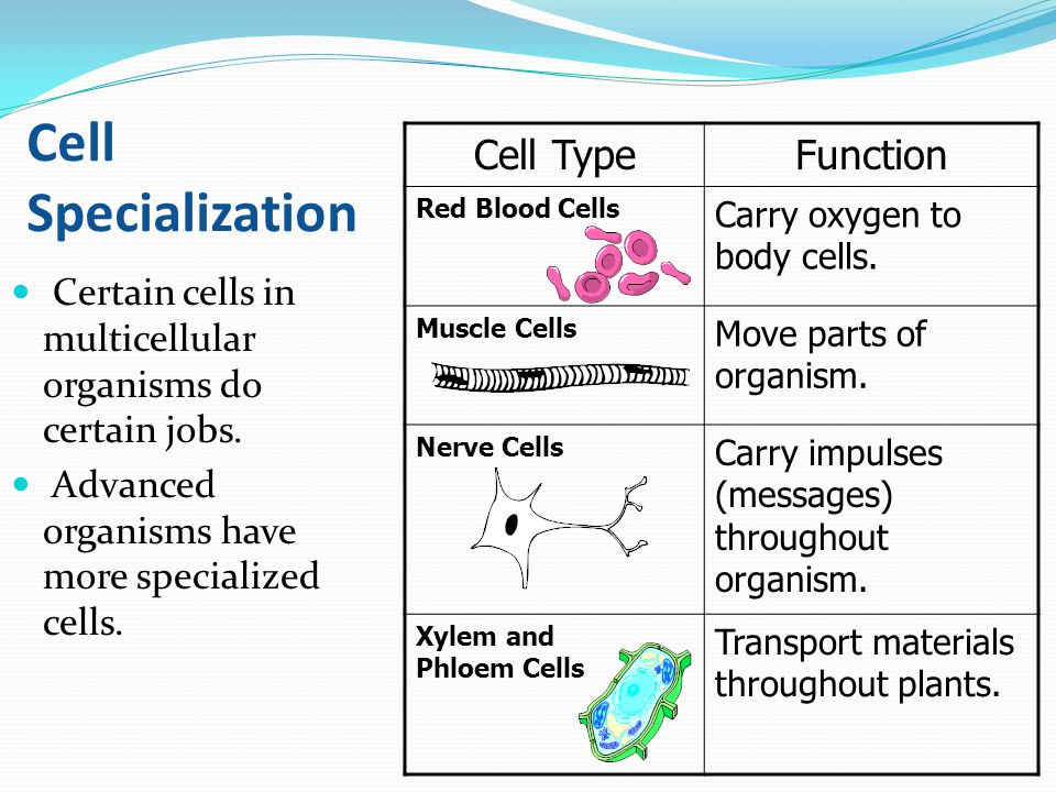 Cell Structure and Function ppt video online download – Cell Specialization Worksheet