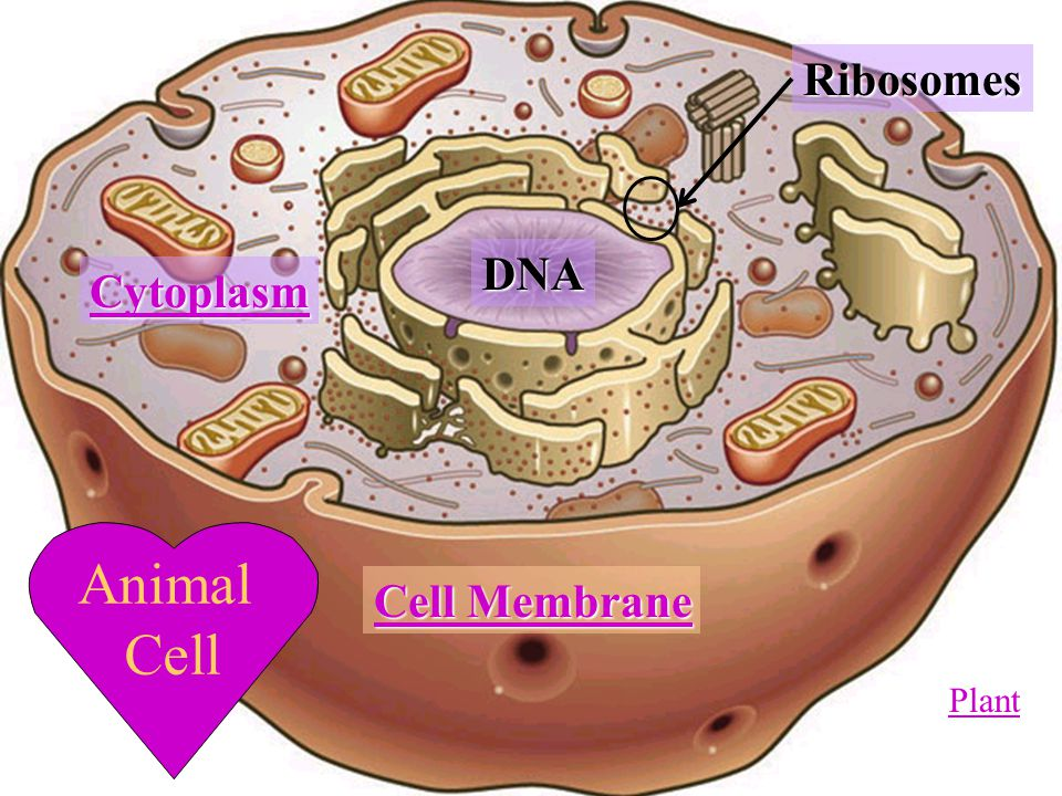 Ribosomes In A Plant Cell Cell Structure ...