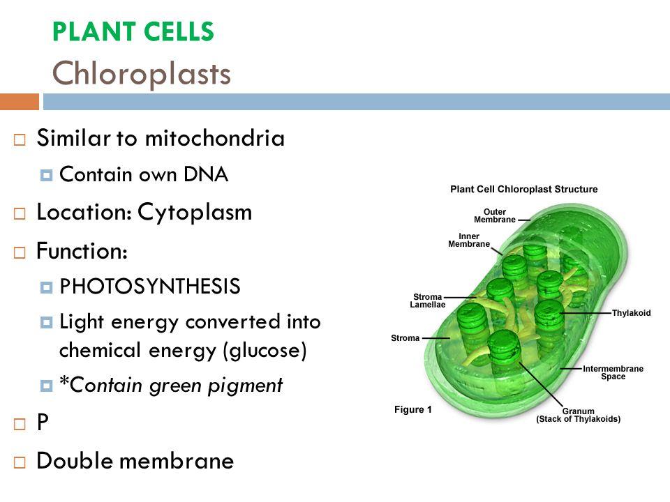 mitochondria and chloroplast essay