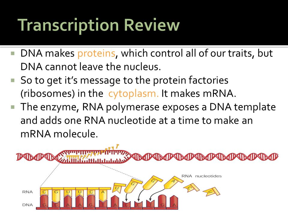 Transcription Review DNA makes proteins, which control all of our traits, but DNA cannot leave the nucleus.