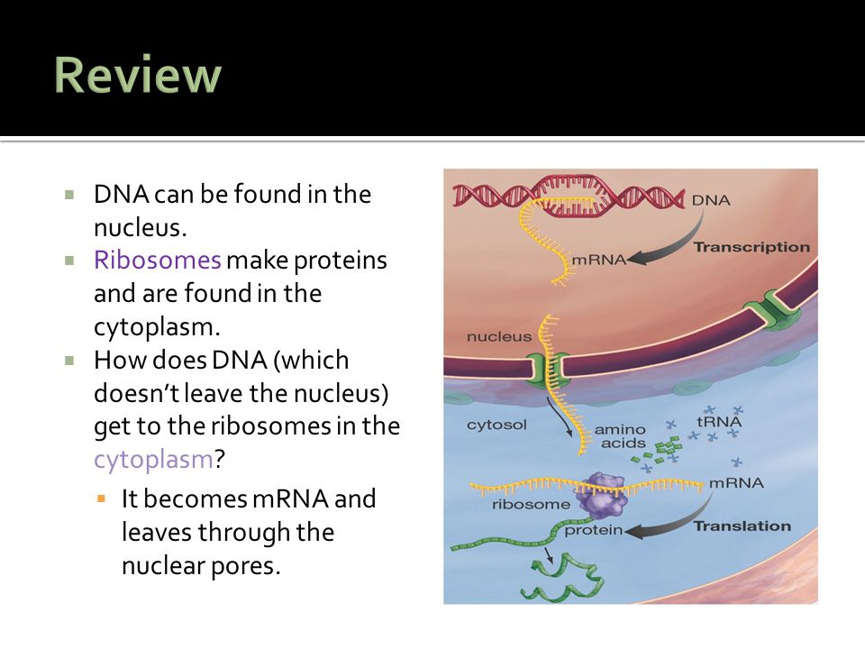 Review DNA can be found in the nucleus.