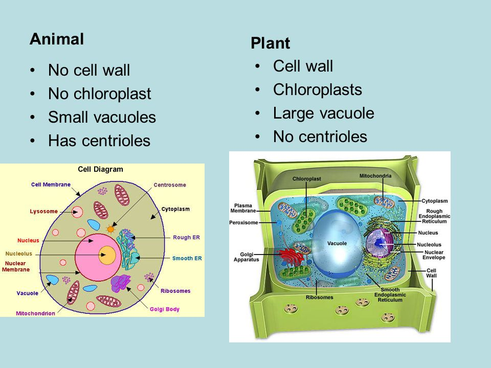 Central Vacuole Of A Plant Cell