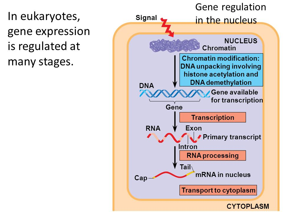Overview: Eukaryotic gene regulation